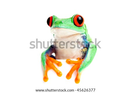 frog isolated on white - red-eyed tree frog (Agalychnis callidryas) looking over edge with feet in front. Great for banners, cards, etc. - stock photo
