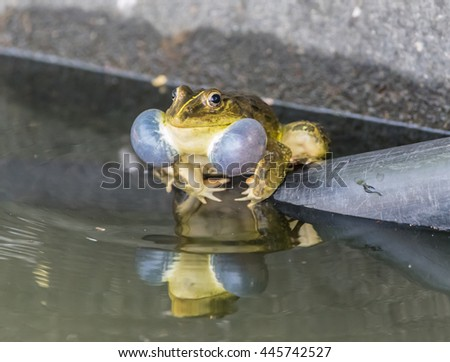 Frog making sound - stock photo