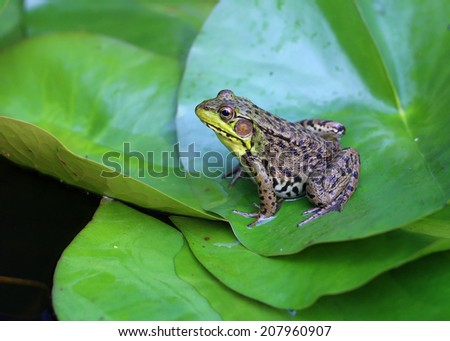 frog on a green leaf  - stock photo