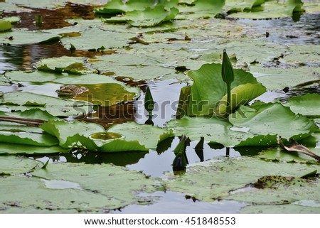 Frog on a lotus leaf green - stock photo