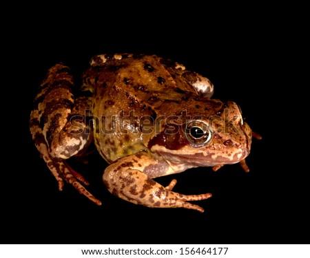 Frog on black - stock photo