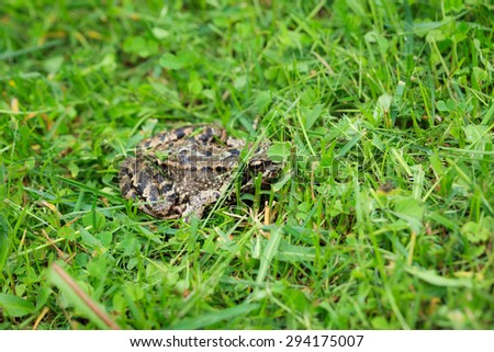 Frog on grass - stock photo