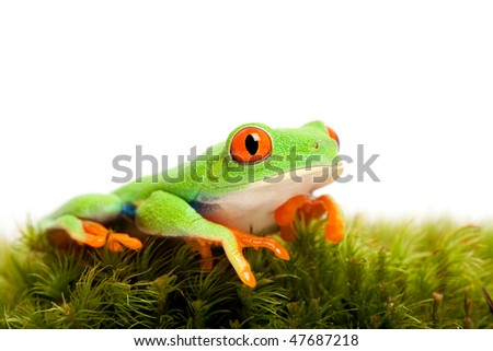 frog on natural moss isolated on white - red-eyed tree frog (Agalychnis callidryas) - stock photo