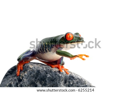 frog on rock, reaching for... I have no idea. A red-eyed tree frog closeup isolated on white - stock photo