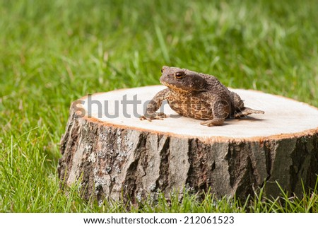 frog on the tree stump and green grass - stock photo