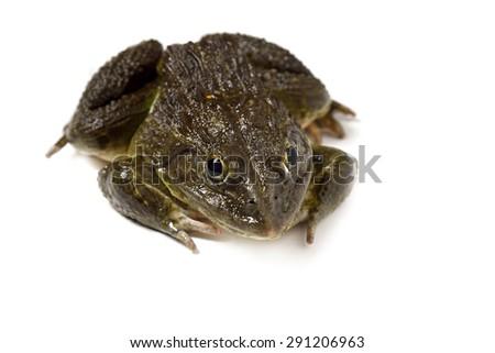 Frog on White  - stock photo