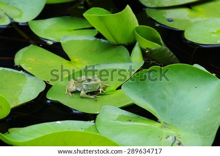 Frog sits quietly on the lotus leaf - stock photo