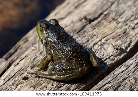 Frog sunbathing on a wood log - stock photo