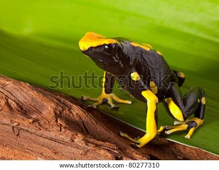 frog with bright orange and black colors. Poison dartfrog of amazon rainforest. Dendrobates tinctorius a beautiful pet animal. - stock photo