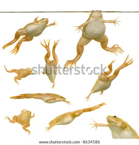 frog - Xenopus laevis  in front of a white background - stock photo