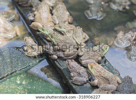 Frogs in farm on nature background wait for sale. Select focus - stock photo