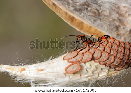 From under the shell of a milkweed pod, an orange and black bug rises up to look and over the milkweed seeds. - stock photo