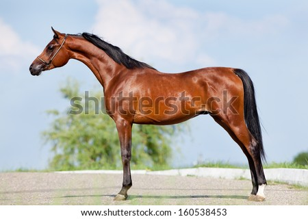 Front animal (Arabian horse - conformation). - stock photo