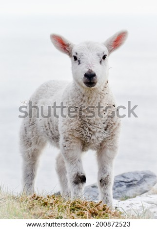 Front Close up vertical portrait of one Single Little alive few months old free range Lamb or young sheep standing outside in the countryside alone without ear tags and looking into the camera - stock photo