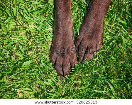 front feet or paws of a chocolate lab in the grass toned with a retro vintage instagram filter app or action effect - stock photo