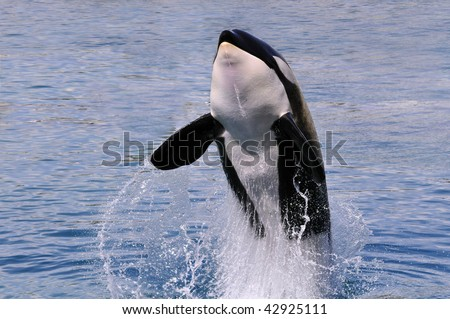 Front killer whale (Orcinus orca) jumping out of  blue water - stock photo