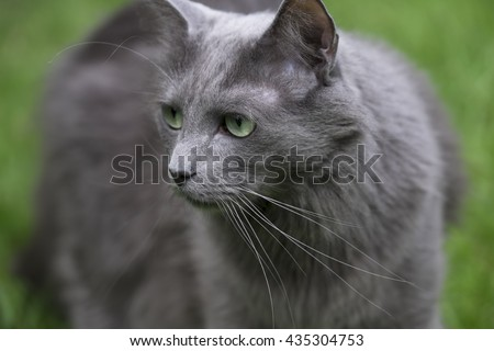 Front of a rare Nebelung cat with green eyes staring to the right, on green background. Focus on nose and whiskers - stock photo