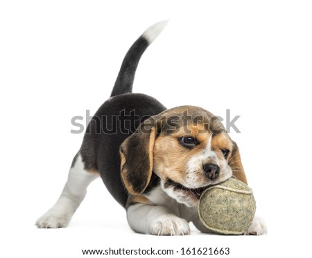 Front view of a Beagle puppy playing with a tennis ball, isolated on white - stock photo