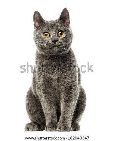 Front view of a Chartreux kitten sitting, 6 months old, isolated on white - stock photo