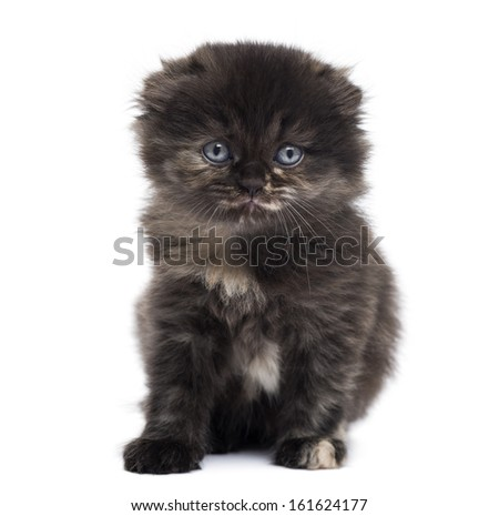 Front view of a Highland fold kitten looking at the camera, isolated on white - stock photo