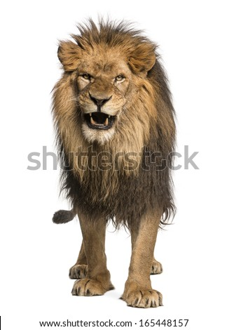 Front view of a Lion roaring, standing, Panthera Leo, 10 years old, isolated on white - stock photo