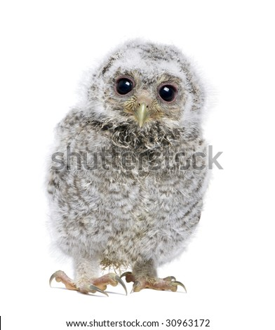 front view of a owlet looking at the camera - Athene noctua (4 weeks old) in front of a white background - stock photo