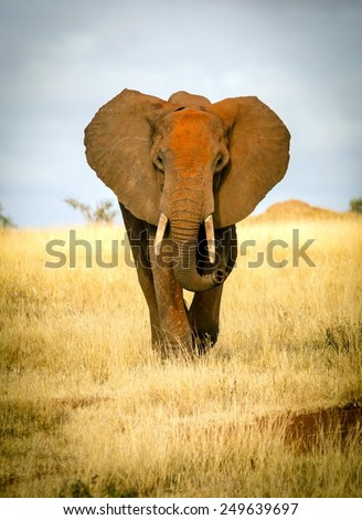 Front view of a red elephant in Tsavo park, Kenya - stock photo