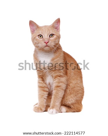 front view of a sitting ginger color cat - stock photo