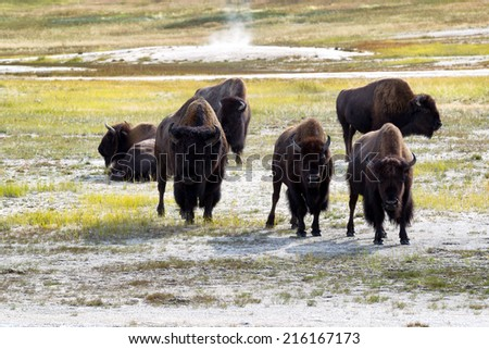 Front view of angry North American Buffalo staring directly forward while grazing in prairie near a hot spring  - stock photo