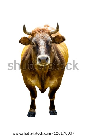 Front view of brown cow isolated on white background - stock photo