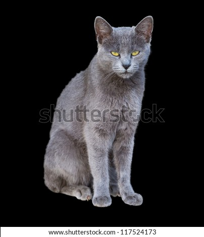 Front view of Chartreux cat standing isolated on black - stock photo