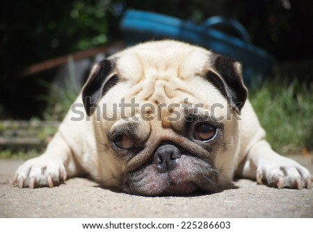 front view, passport photo of a lovely lonely white fat cute pug dog laying on the concrete garage floor making sadly face with home outdoor surrounding bokeh background  - stock photo