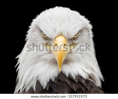 Frontal portrait of Bald Eagle - stock photo