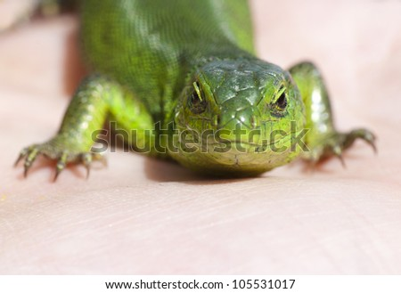frontal portrait of green lizard - stock photo