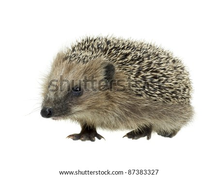 frontal shot of a young hedgehog. Studio photography in white back - stock photo