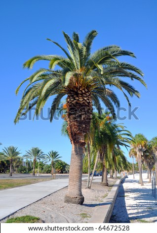 Frontal view of a Florida palm tree on a sunny summer day, in St. Pete, Florida - stock photo
