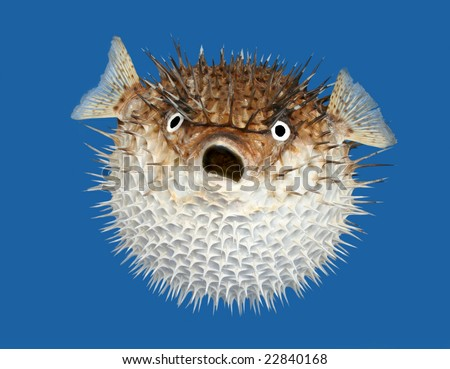 Frontal view of a porcupine fish, isolated on a blue background. - stock photo