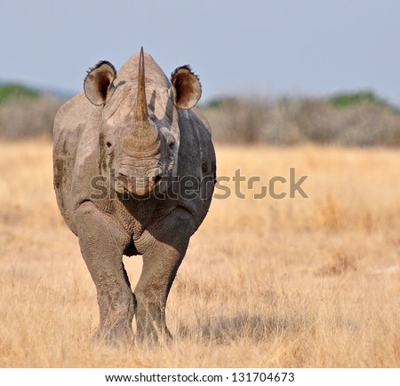 Frontal view of the critically endangered Black Rhinoceros, Diceros bicornis, also called hook-lipped rhinoceros. - stock photo