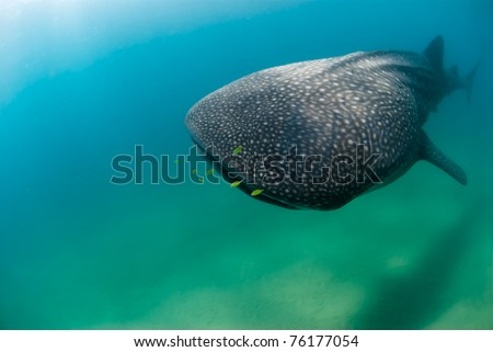 Frontal view of whaleshark and golden trevally - stock photo