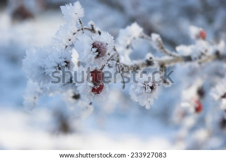 Frost and ice on winter berries - stock photo