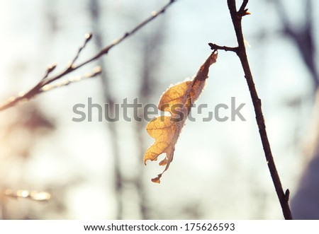 Frost covered autumn leaves backlit by the light of the rising sun. small depth of field - stock photo