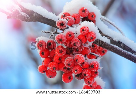 Frost-covered berries in the cold of winter. Shallow depth-of-field - stock photo