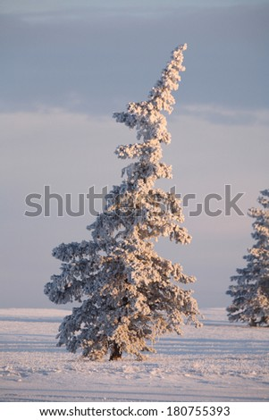 Frost covered Spruce trees - stock photo