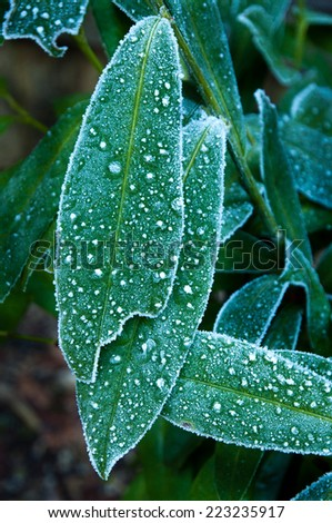 Frost on laurel leaves - stock photo