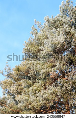 Frosted evergreen tree at sunny winter morning over blue sky - stock photo