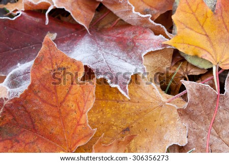frosted red and yellow autumn maple leaves - stock photo