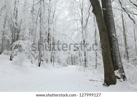 Frosted trees and fresh snow on the ground with thick trunks in the foreground and the path in the distance. - stock photo