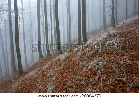 Frosty beech forest with fog in the background - stock photo