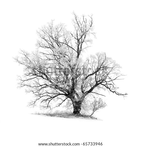 frosty oak tree with a patch of ground, isolated on white - stock photo