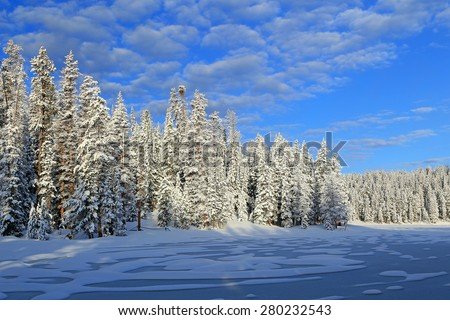 Frosty pines in the Utah mountains, USA. - stock photo